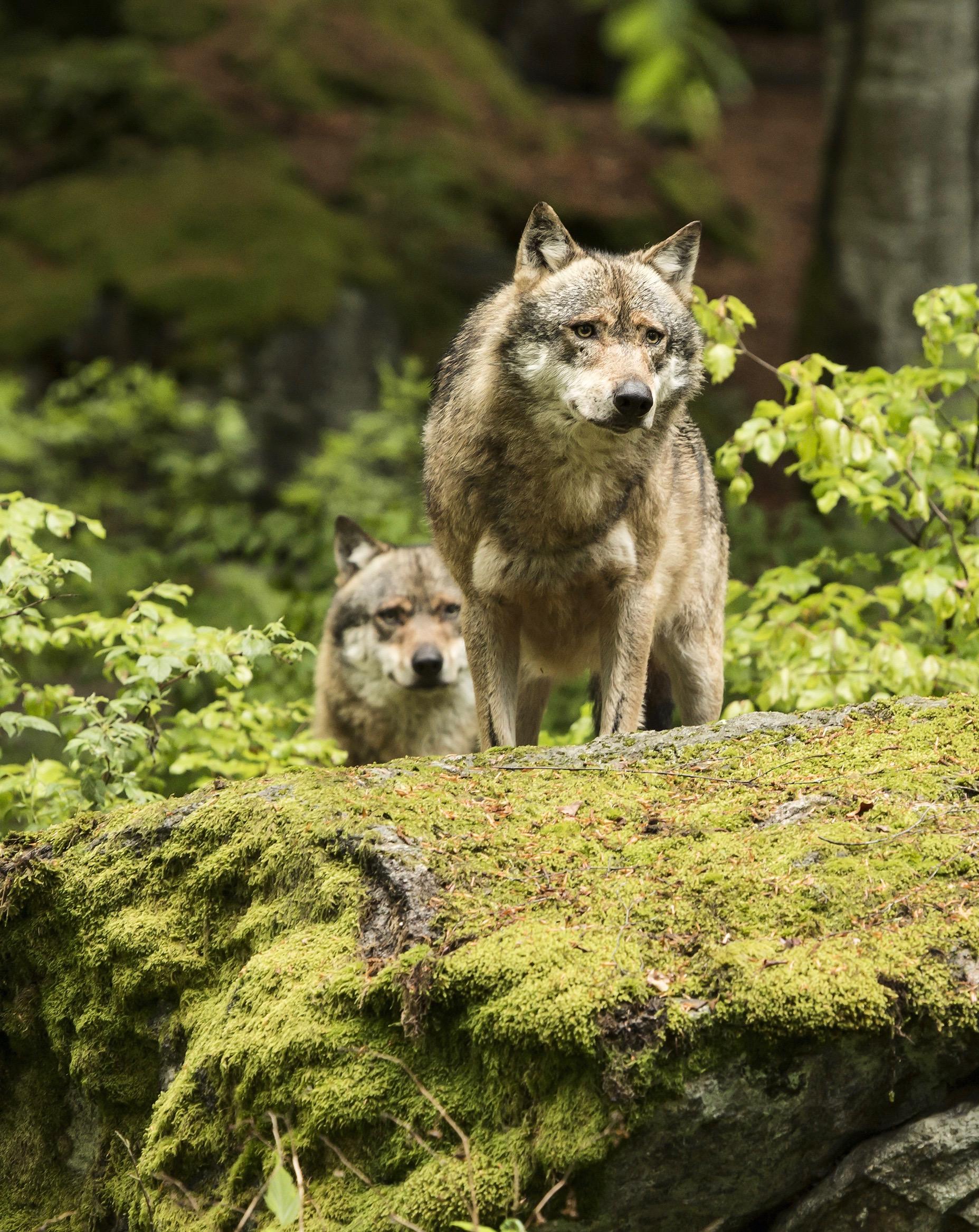 Wolf Porträt Shutterstock Portrait